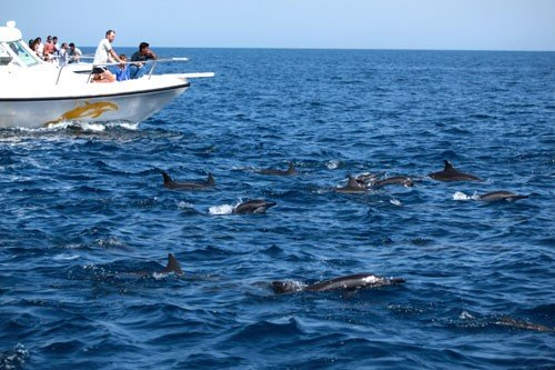 Book Dolphin Watching Cruise Muscat 2021